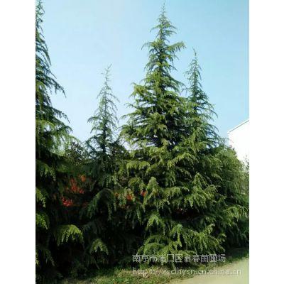 南京雪松价格3米4米5米6米雪松树苗多少钱一棵