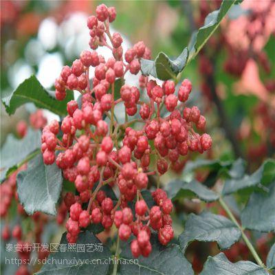 出售0.5公分1 1.5公分花椒苗 规格齐全 现挖现卖 成活率高