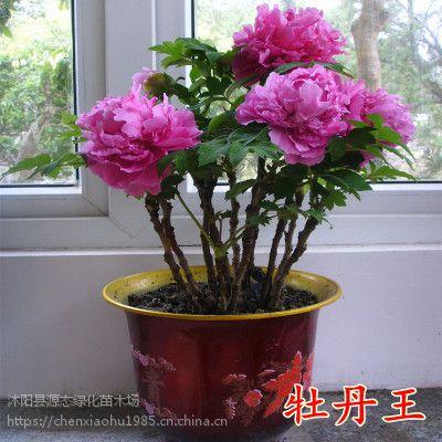 正宗洛阳牡丹花苗盆栽绿植室内室外庭院阳台种植花卉四季开花植物