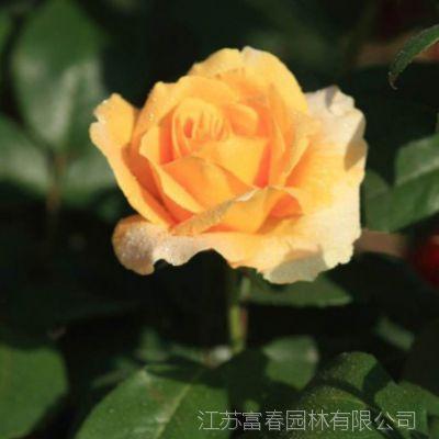 基地直销金奖章月季 大花精品球状月季 盆栽花卉 量大从优 规格齐全