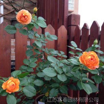欧月 球状月季花苗 蜂蜜焦糖 庭院绿植阳台窗台盆栽