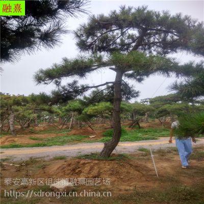 泰山景松 2米以上造型松树 树形独特 5-20公分地径 造型黑松价格