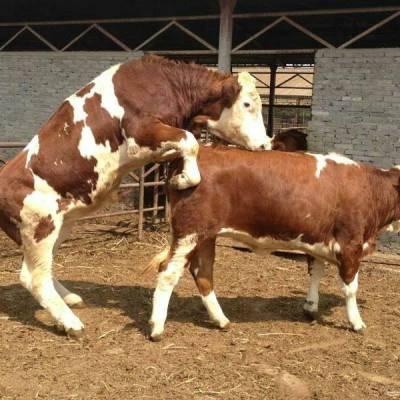 繁殖母牛饲料配方