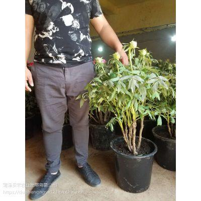 精品催花牡丹、观赏牡丹盆栽、室内牡丹