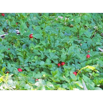 山东青州丽都蛇莓苗蛇莓哪家好欢迎选购