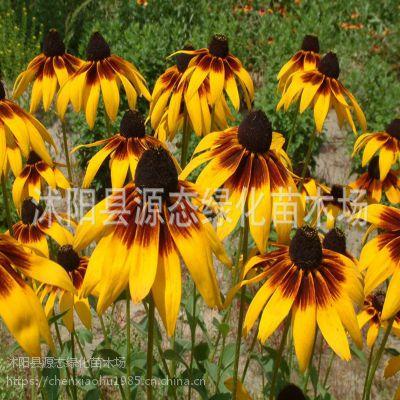 批发优质园林花卉种子批发 金光菊种子 多季播种易成活花卉 金光菊