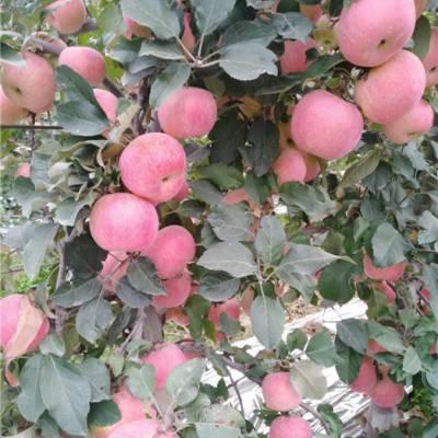 苹果苗价格-安徽苹果苗-泰安泰丰源农场(查看)
