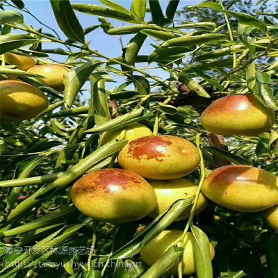 沾化冬枣枣树苗价格 哪里有卖嫁接枣树苗 3公分枣树苗价格