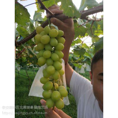 供应优质阳光玫瑰葡萄苗嫁接苗