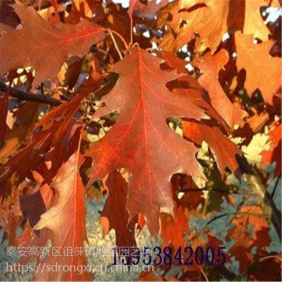 山东红橡树基地 1公分-3公分规格红色风景北美树种 娜塔烁红橡树