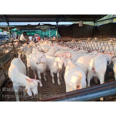 奶山羊图片 关东奶山羊 奶山羊投资 奶山羊的养殖 陕西奶山羊销售 包邮