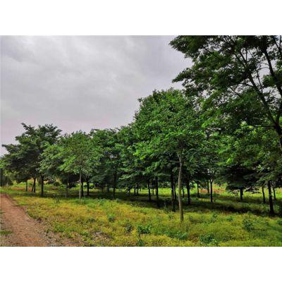 15公分榉树批发16公分榉树价格