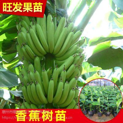 大量供应香蕉组培苗 威廉斯B6香蕉苗 产量高品种正宗价格优惠