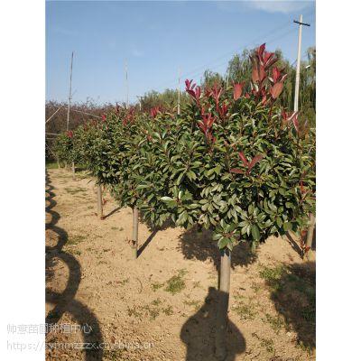 山东红叶石楠球基地,红叶石楠球报价,红叶石楠球苗木
