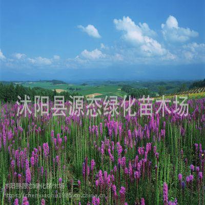 批发出口景观花卉种子 蛇鞭菊种子 别名麒麟菊 猫尾花 包发芽率
