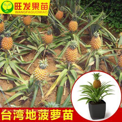 大量供应正宗台湾地菠萝苗凤梨苗可盆栽可地载当年结果树苗地菠萝凤梨树苗 品种好量大价优