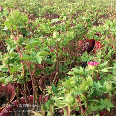 温室催花芍药、观赏芍药盆栽、菏泽芍药价格