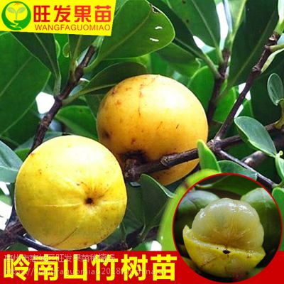 大量供应正宗岭南山竹苗(罗蒙树)黄牙树 树形美观可观赏树品种好 量大价优