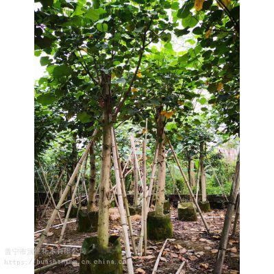 供应胸径12公分黄槿广东普宁苗木