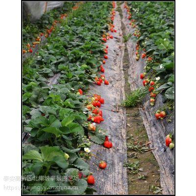 山东草莓苗基地,江雪红颜批发,大棚草莓采摘
