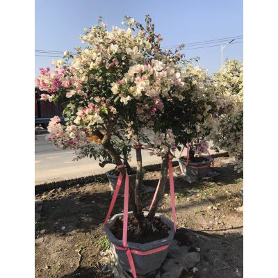 江西移植三角梅花色鲜艳,鹰潭三角梅蓬径2.5,米