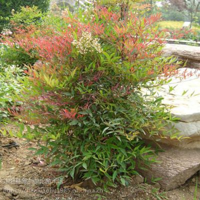 批发南天竹 红天竹 红枫盆栽盆景彩色庭院绿化工程苗 耐寒植物