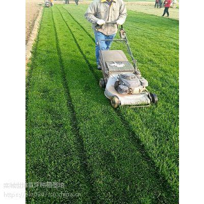 栾城早熟禾草坪怎样使用肥料