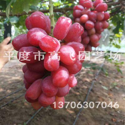浪漫红颜葡萄苗 大泽山葡萄苗 新品种