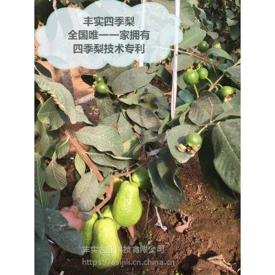 四季水果丰实四季梨