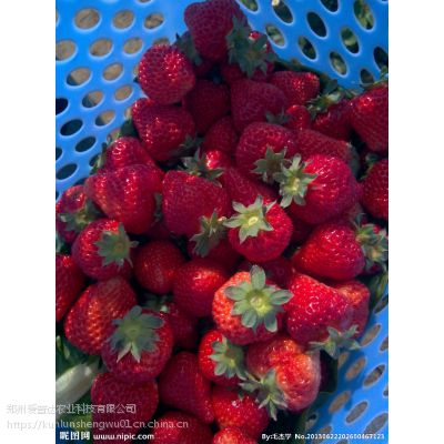 草莓膨果增甜钾宝 生根快果实大