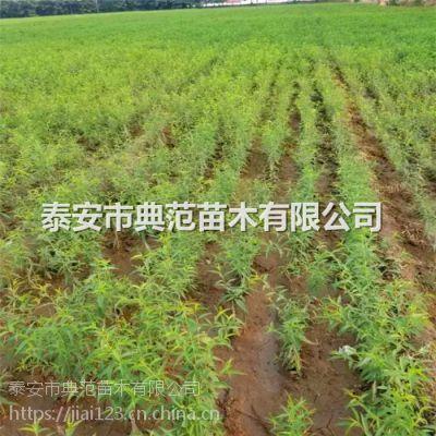 法兰西李子苗多少钱一棵 法兰西李子苗品种介绍