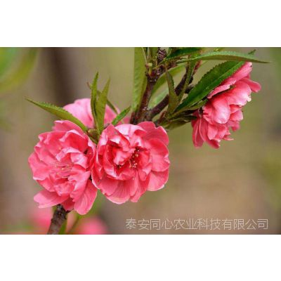 寿星桃批发价格 寿星桃种植基地