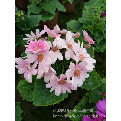 多色花卉瓜叶菊 瓜叶菊工程苗 花镜花卉
