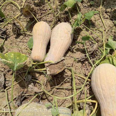 黄皮红肉南瓜种子,优质蜜本南瓜种子