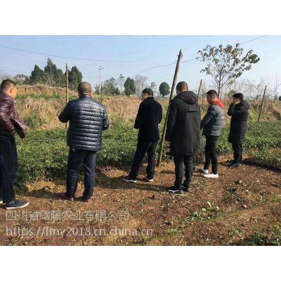 藤椒种植适合的区域 藤椒种植适合的土质