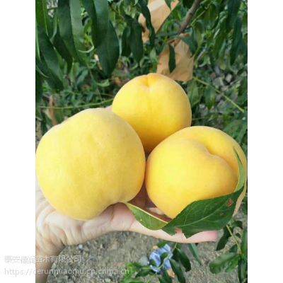 黄金蜜0号黄桃苗价格、早熟黄金蜜0号黄桃苗一棵价格