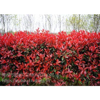 青州丽都花卉 红叶小檗种植基地 红叶小檗产地 欢迎采购