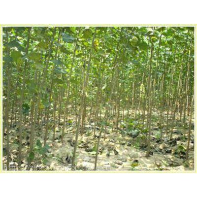 荆门杨树苗哪里有厂家新闻 杨树苗基地价格