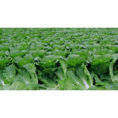 种植白菜施肥碧格营养调节剂动力素叶绿病害少