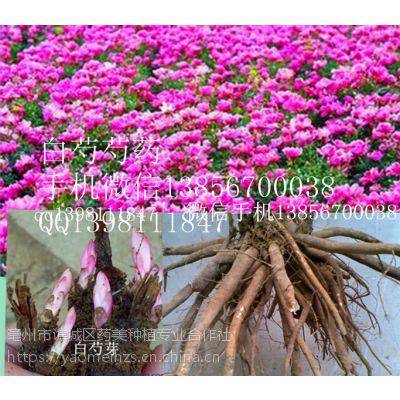 种植白芍种苗有无风险病虫害