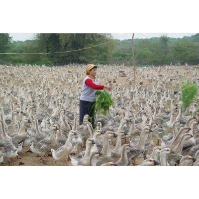 生态鹅养殖场用饲料\\3000只生态鹅快速育肥饲料