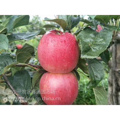 2018预售新品鲁丽苹果树苗全国发货 闪电发货
