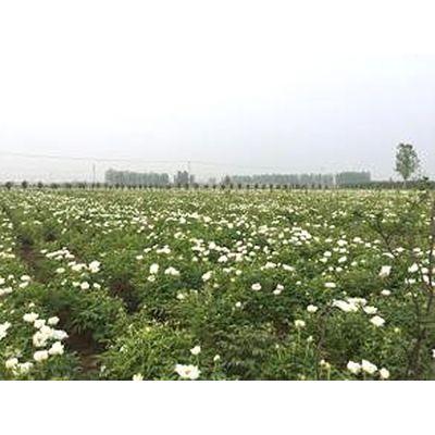 批发出售观赏牡丹苗 观赏牡丹苗种植基地