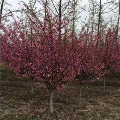 垂丝海棠便宜了 3公分4公分5公分垂丝海棠树苗特价批发