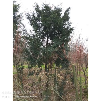 哪里有红豆杉小苗工程苗批发基地,10公分红豆杉价格是多少