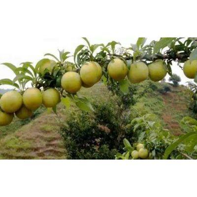 新品种蜂糖李子苗多少钱、江西蜂糖李树苗多少钱一棵