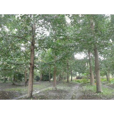 15-20公分好树形风景树行道树银杏树 工程量大 欢迎选购