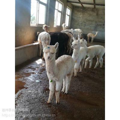 羊驼的特征 怎样正确的认识羊驼 养殖经验