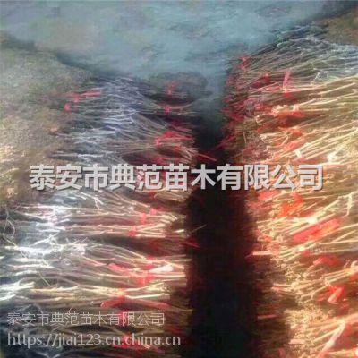 泰安市典范苗木有限公司红提葡萄苗多少钱一棵