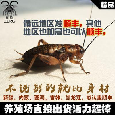 油规格蟋蟀活体饲料黑蛐蛐针头小号大号全葫芦大量有货江浙沪包邮